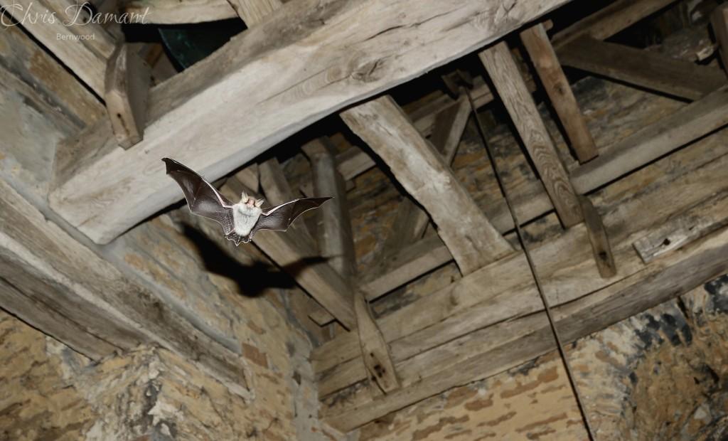 Image of a Natterer's bat flying inside a church.